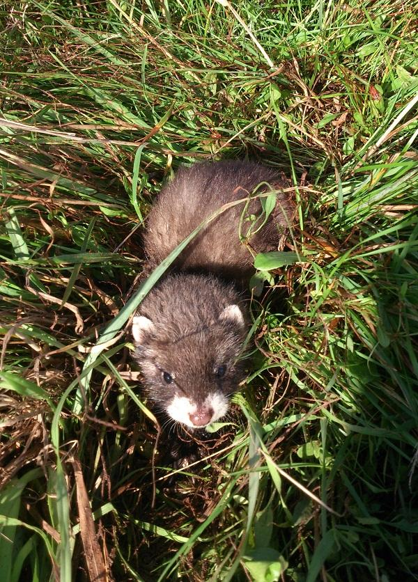 Polecat at Coombe Country Park